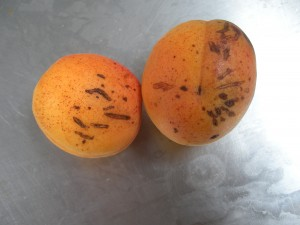 Ugly apricots