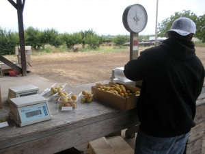 pristine apricots being weighed